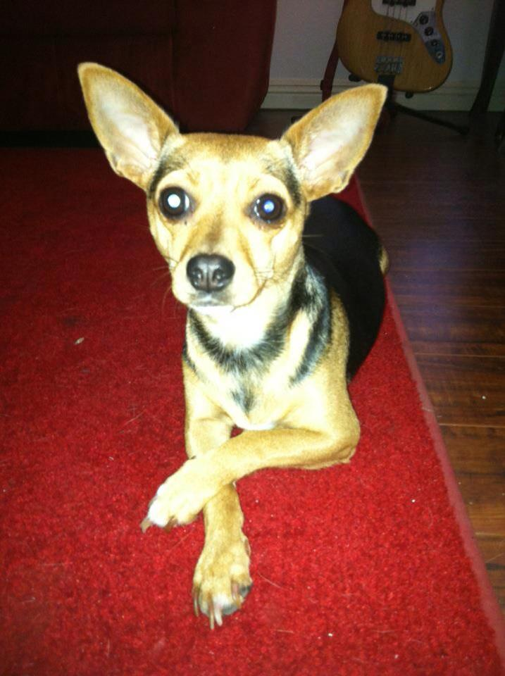 "Chihuahua ""Penny"" from Van Nuys FOUND!"