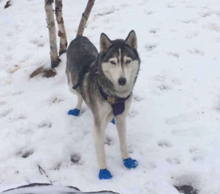 lost dog yukon  u2013 quicksburg   virginia